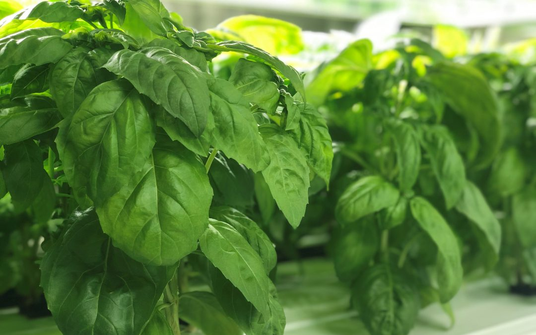 Healthy, green basil plants growing in a container farm.