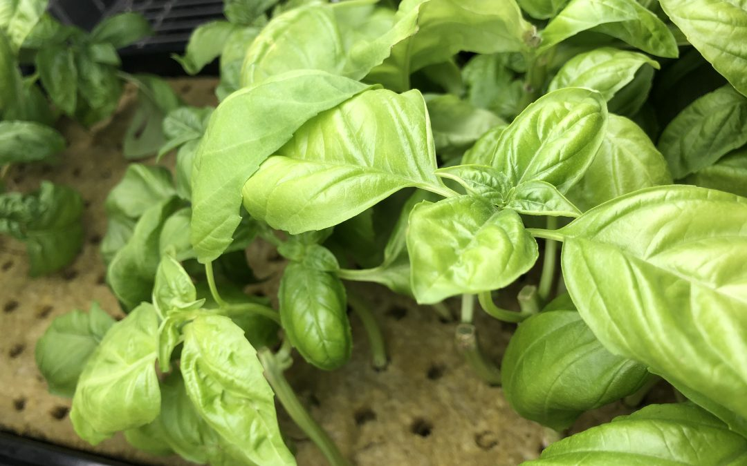 Picking the Best Growing Medium for Your Hydroponic System