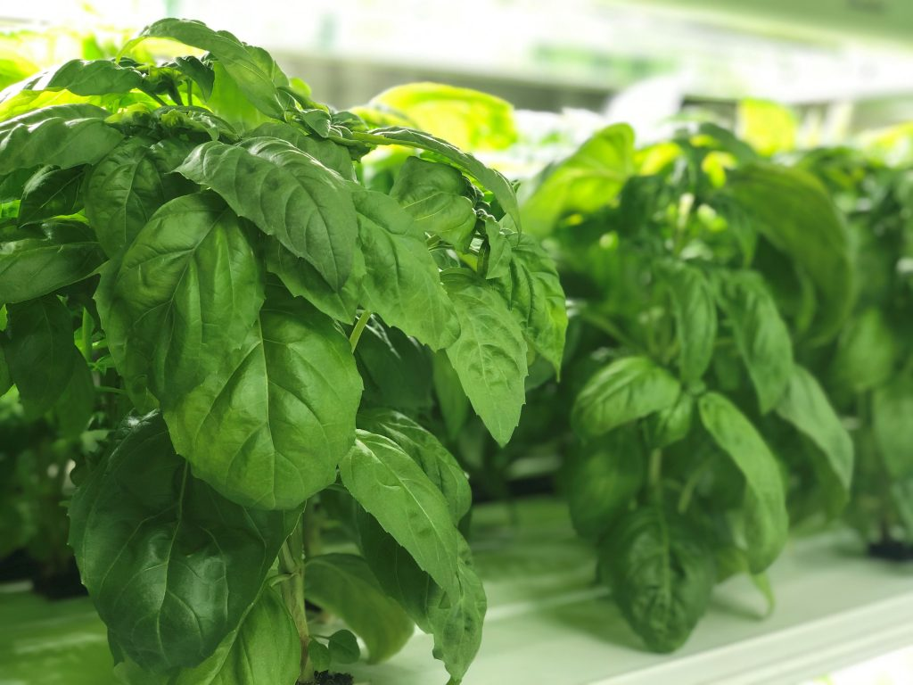 Why are my basil leaves turning green? Close up of basil plants growing in hydroponic system.