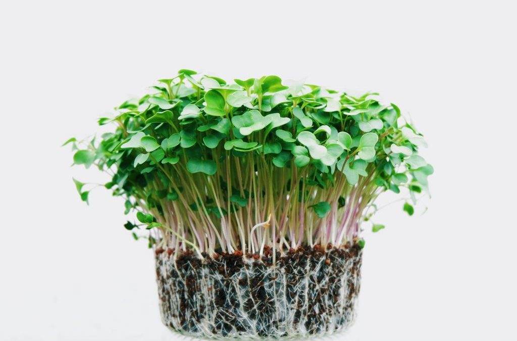 best microgreens to grow in containers