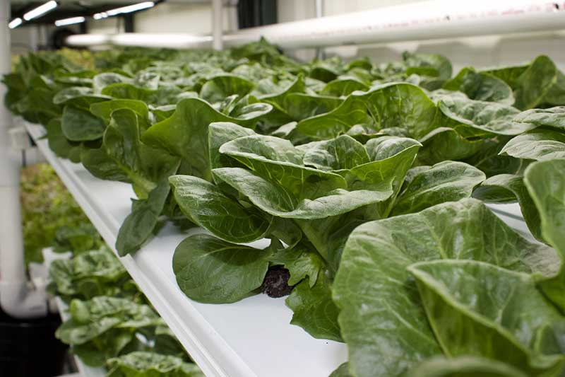 growing lettuce in shipping containers
