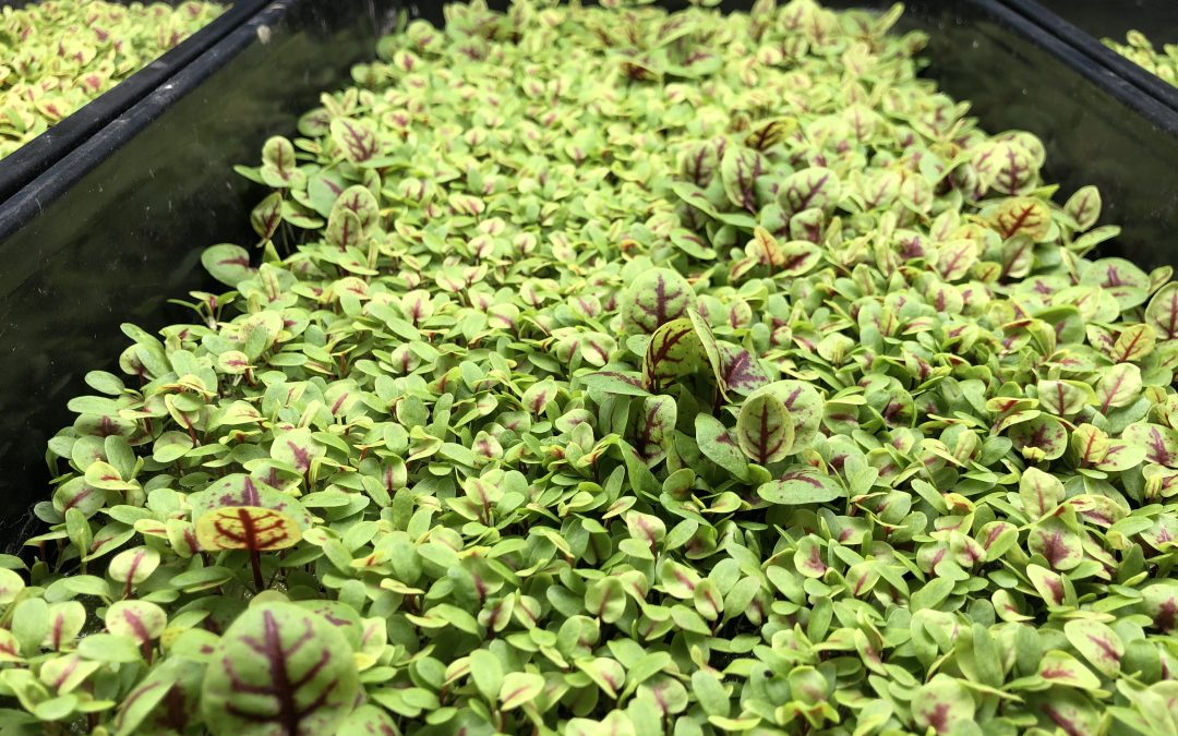 Growing Microgreens in Shipping Containers is Easier Than You Might Think…